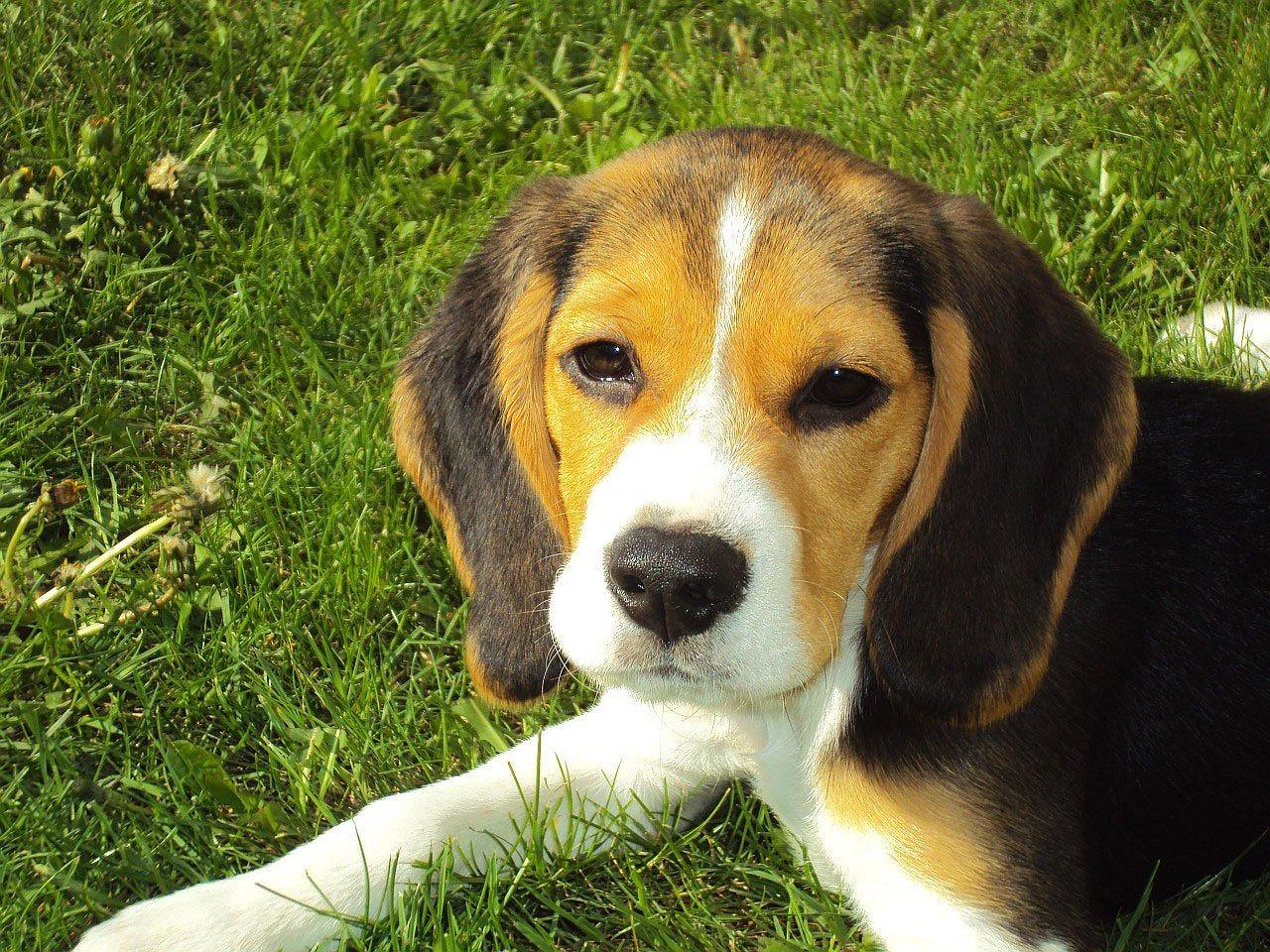 Quel destin pour les chiens Beagles de laboratoire?